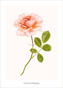 Set kaarten rozen